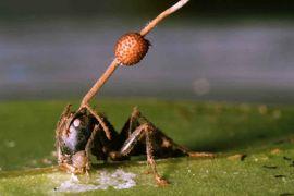 cordyceps ant brain